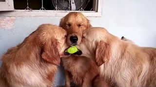 These golden retrievers will make you laugh your HEAD OFF